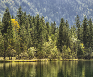 forrest by lake